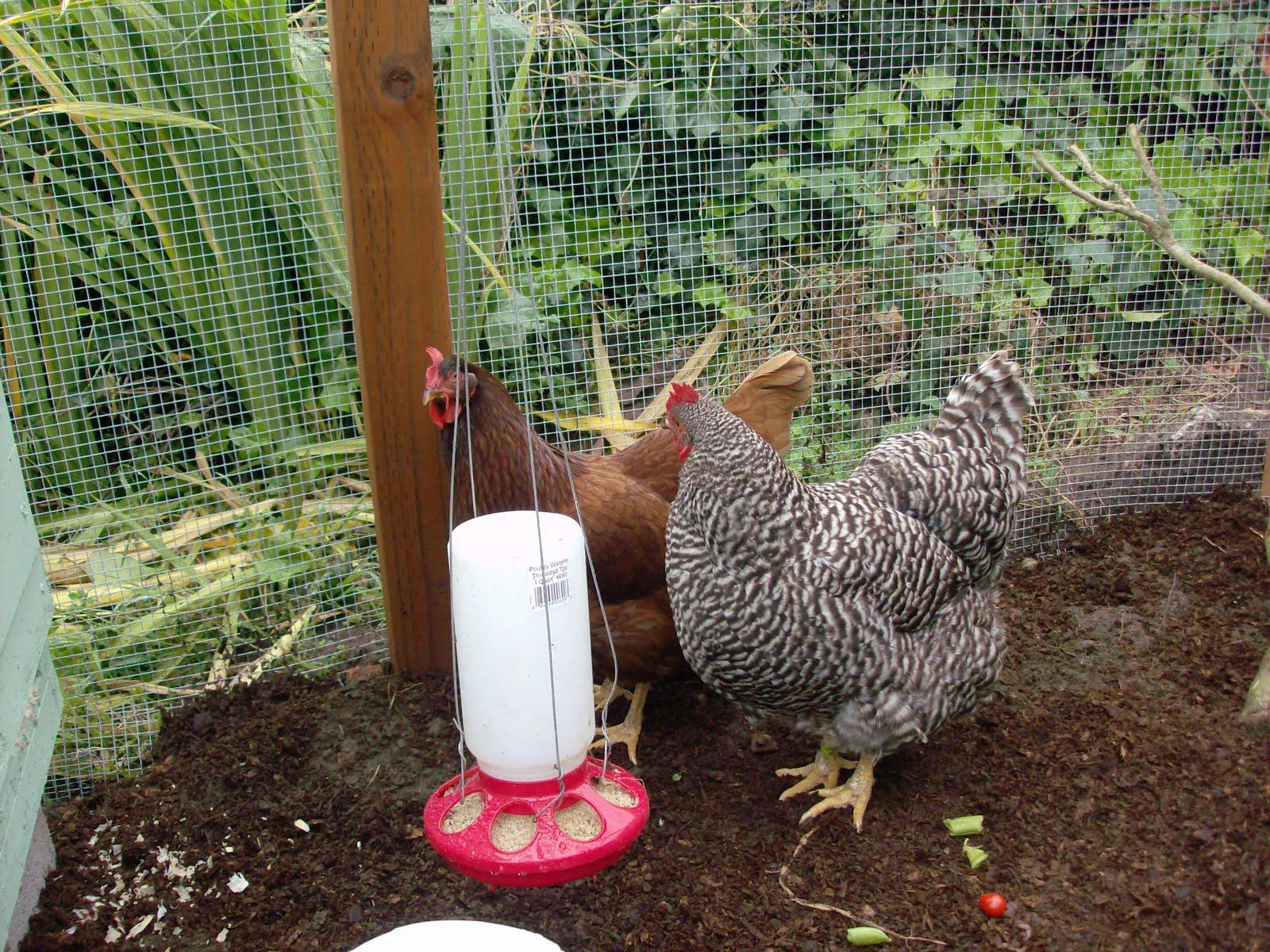 the great backyard chicken adventure part 12 food sloat