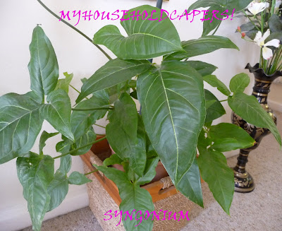 My household capers gardening easy care indoor plants syngonium or arrowhead plant - Easy care indoor plants ...