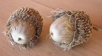 New Mexico acorns