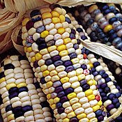 ancient corn from Seeds of Change
