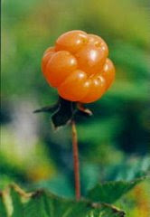 Bakeapple Berry (Cloudberry)