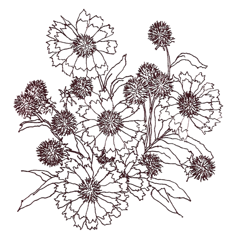 ink drawing of Gaillardia flowers