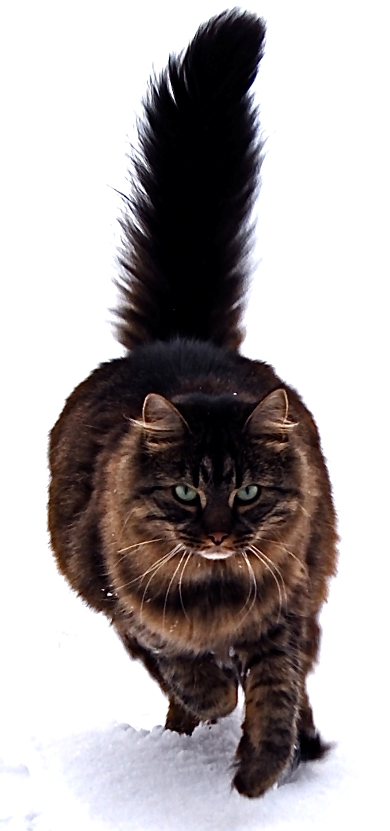 maine coon cat. the Maine Coon is