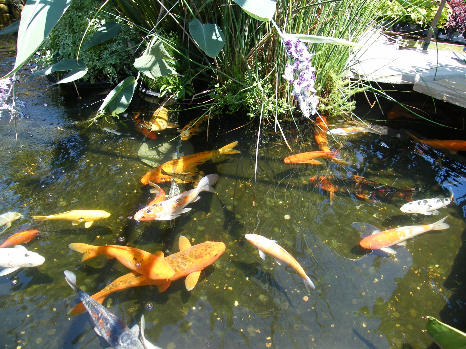 We Have A Huge Selection Of Water Garden Supplies. We Have Lots Of Plants  To Choose From And A Bunch Of Fish. Come Check Out What We Have For Your  Water ...