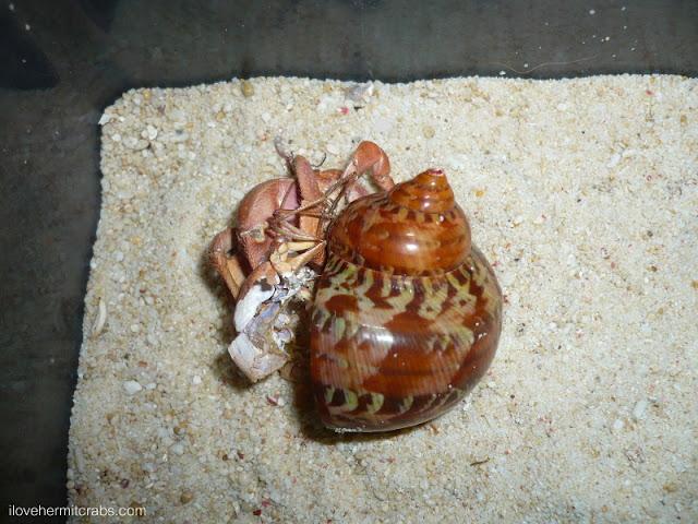 Hermit Crab Molt PP's second molt | For...