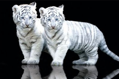 White Tigers - Cubs Picture