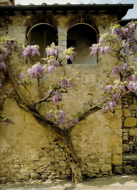 """The incomparable """"glicine"""" in an ancient village in Chianti, Image via Mediterranean Style, edited by lb for linenandlavender.net (l&l)"""