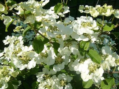 Viburnum en flor