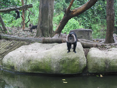 zoo black monkey