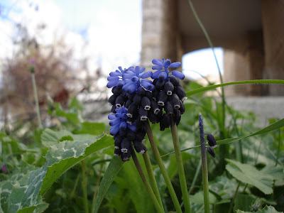 Still more common grape hyacinths