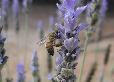 Bee on lavender blossom