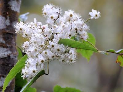 Rubus Cissioides flowers