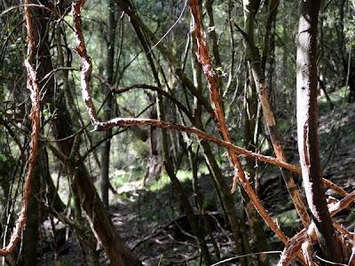 Fuchsia Perscandens Vine
