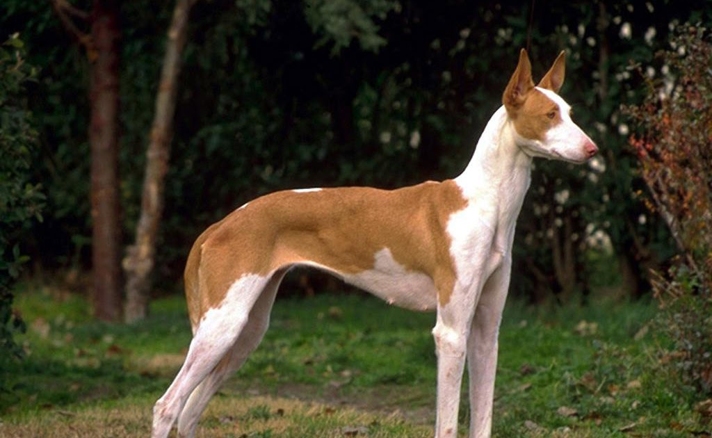 Dog Breeds With P