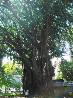 Ateli jardim arte e paisagismo sobre ficus e suas - Ficus elastica cuidados ...