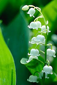 Muguet (Lily-of-the-valley)