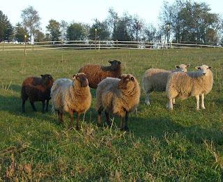 Fall ewe picture