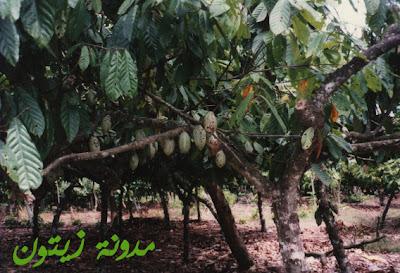 شجرة الكاكاوبالصور Plantage4