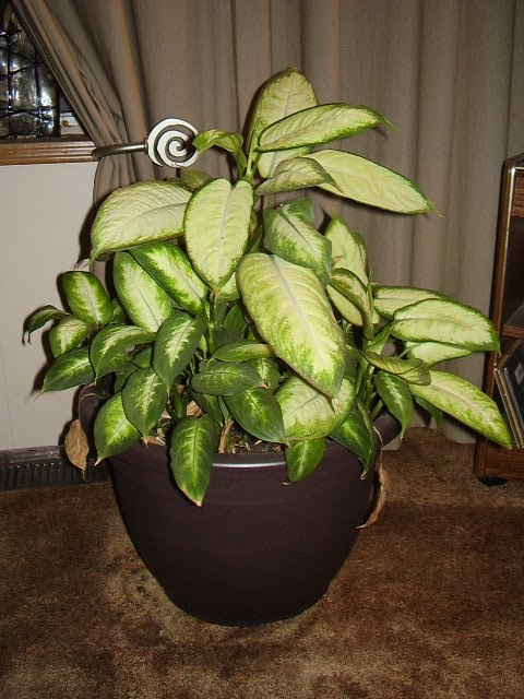 Image gallery dieffenbachia poison - Toxic plants for dogs and cats the danger behind flowers ...