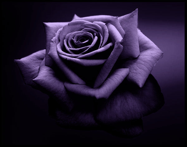 Nevertheless, the Purple Rose,