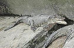 >Burma Bans Crocodile Export