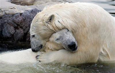 >polar bears in love