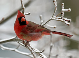 Mary's Cardinal