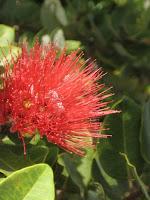 Ohia Lehua - Metrosideros polymorpha