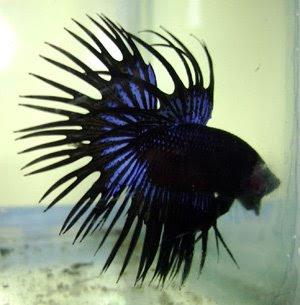 Ikan Cupang bukan hanya sekedar ikan adu ,tetapi juga a