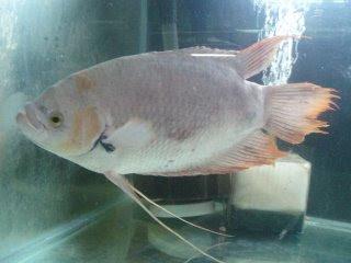 Klasifikasi ikan gurame adalah sebagai berikut: