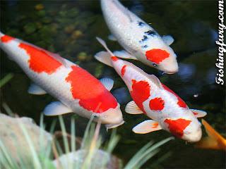 Budidaya Ikan Hias Mas Koki:AquaCulture