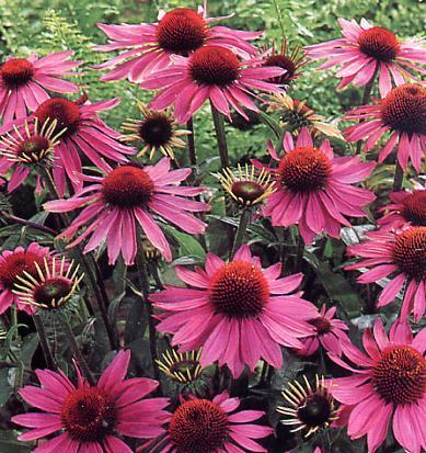 Vous avez dit Antibiotiques naturels!  Herb+-+Echinacea+purpurea