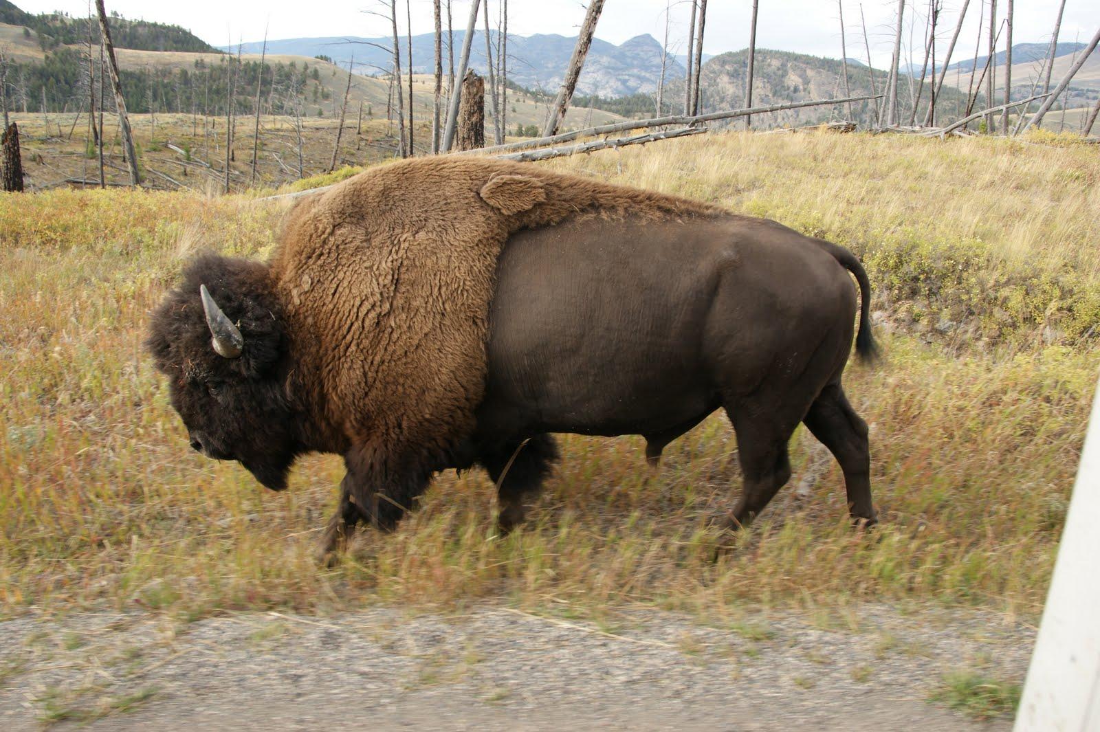 YellowstoneRoadsideBison.JPG