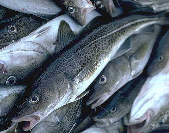 Arctic cod fish photos for Atlantic cod fish