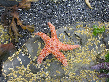 Orange Ochre Sea Star - Sitka Sound