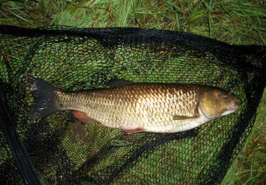 The flee float barbel chub for Fish 2 flirt