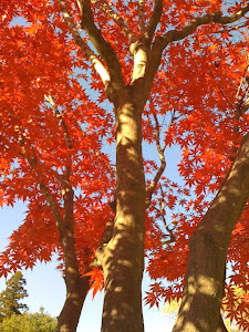 Momiji leaves