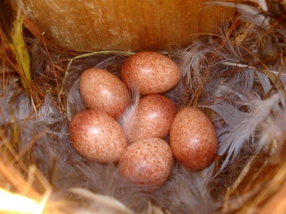 House wren eggs
