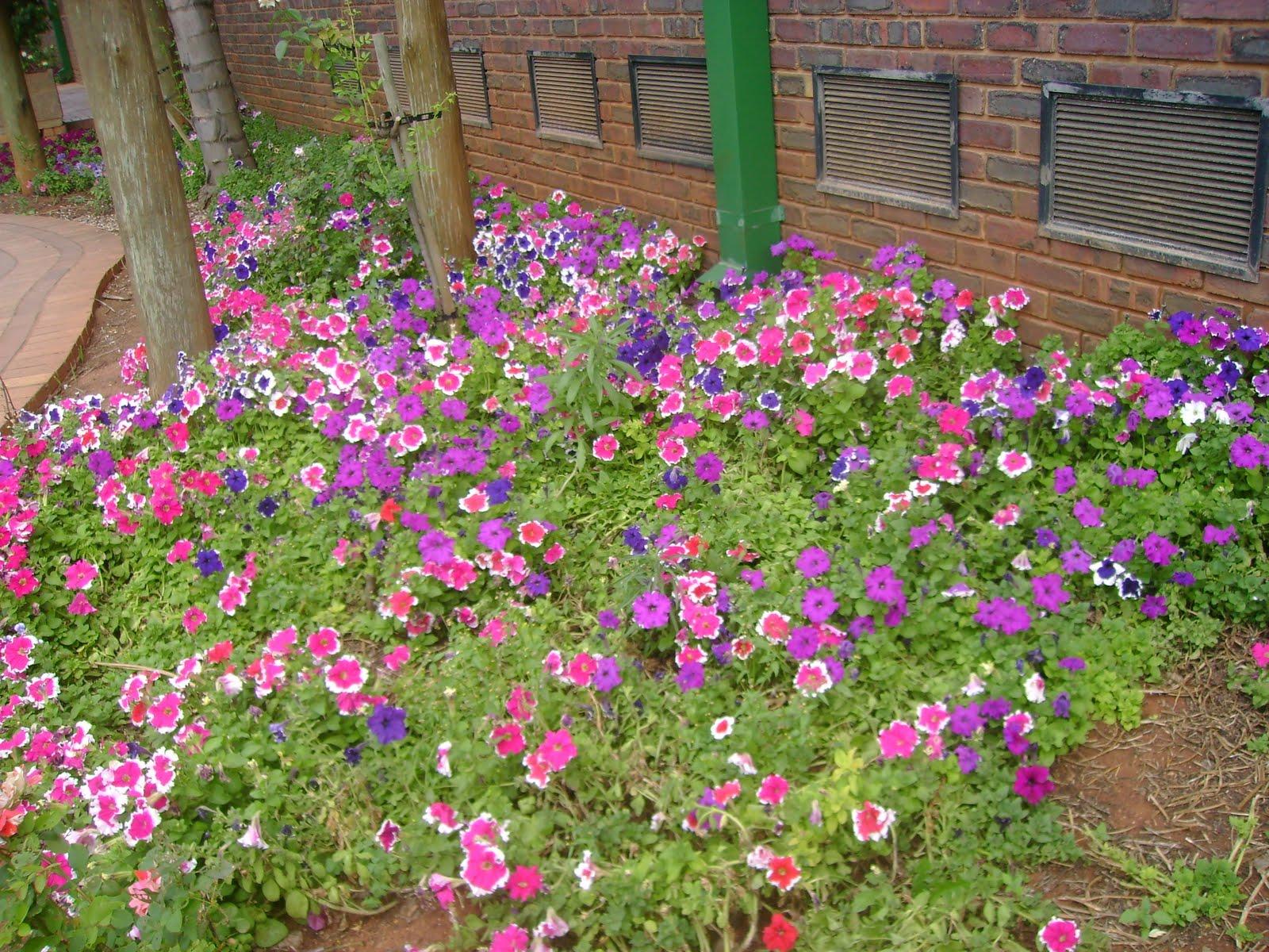 flores para jardim sol pleno: lá com o que eu me deparo?.. petúnias em pleno sol sulafricano