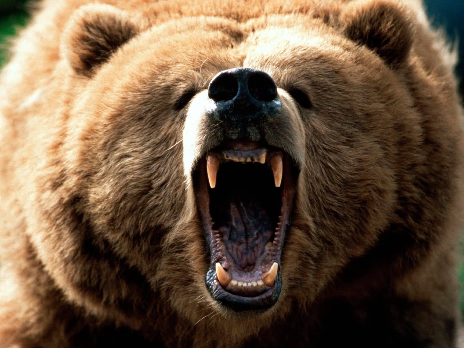 http://4.bp.blogspot.com/_nn4b2gkHsEU/TMMKlshTnLI/AAAAAAAAH9A/aiLGPVFg-LA/s1600/grizzly.jpg
