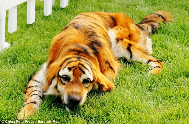 Thai Panda Meet The Tiger Dog Chinese Pet Owners Dye