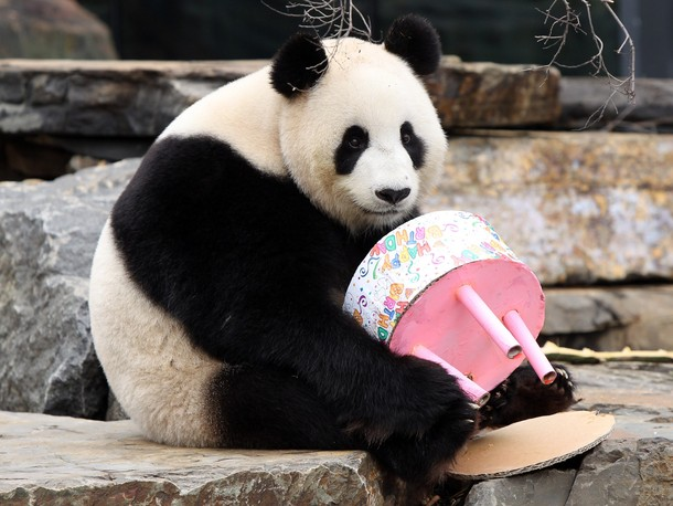 Funi+the+Panda+enjoys+eating+her+birthday+cake+to+celebrate+her+first+Australian+birthday+5.jpg