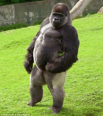 Biggest Gorilla Ever Recorded Gorilla who walks around