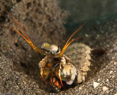 Mantis Shrimp, Mucky Pirates Bay, Pemuteran, NW Bali