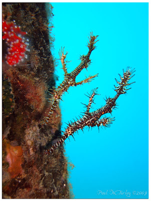 Ornate ghost pipefish, Mucky Pirates Bay, Pemuteran