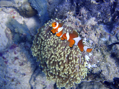 A Clownfish