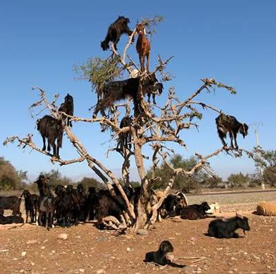 kambing memanjat di maroko