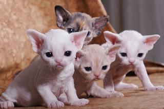 Razze Feline: una più bella dell'altra Devon%20Rex%20ninhada