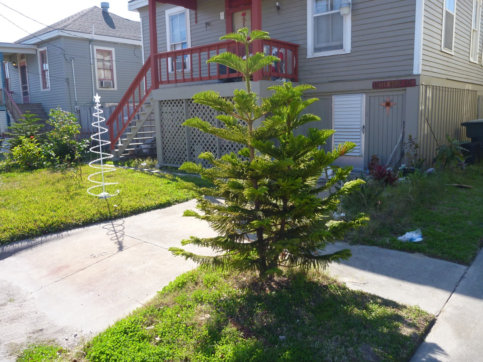 Galveston Gardening: Norfolk Island Pine - Know the Risks Before You ...