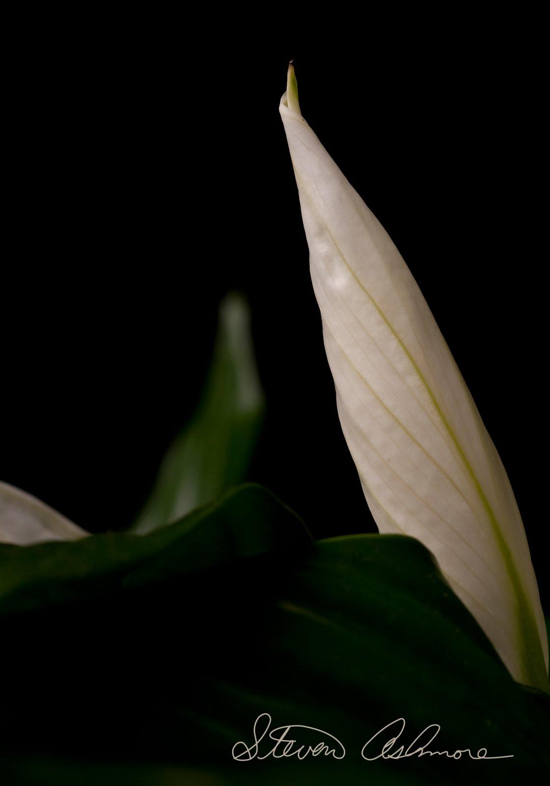 http://4.bp.blogspot.com/_ntIMzFVd2XA/S8oECAt3LJI/AAAAAAAAAVw/NcEkJSWZ8JI/s1600/Peace+Lilly_08.jpg